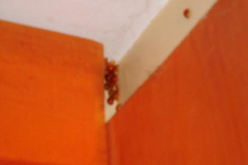 ladybug nest