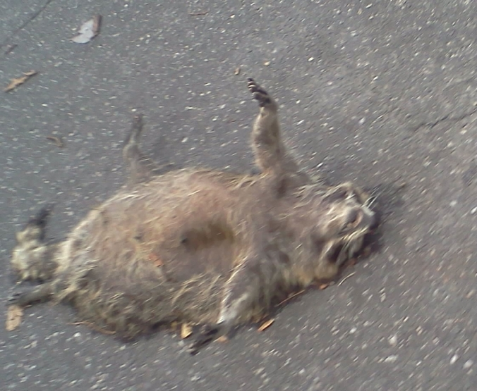 Racoon cropped